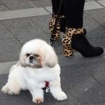 Nederlandse laarzen op straat met tijgerprint en goed contrast met passende witte hond op Straatfestival in Bergschenhoek